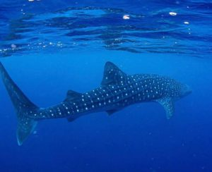 Whale Shark lds tours 2020